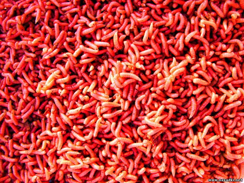 Красный опарыш продажа в барнауле