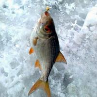 Некоторые особенности ловли плотвы зимой