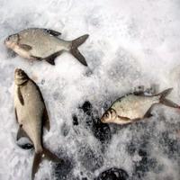 Ловля леща зимой на озерах
