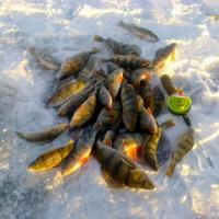 Зимний окунь на мелководье