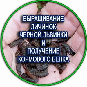 выращивание личинки черной львинки