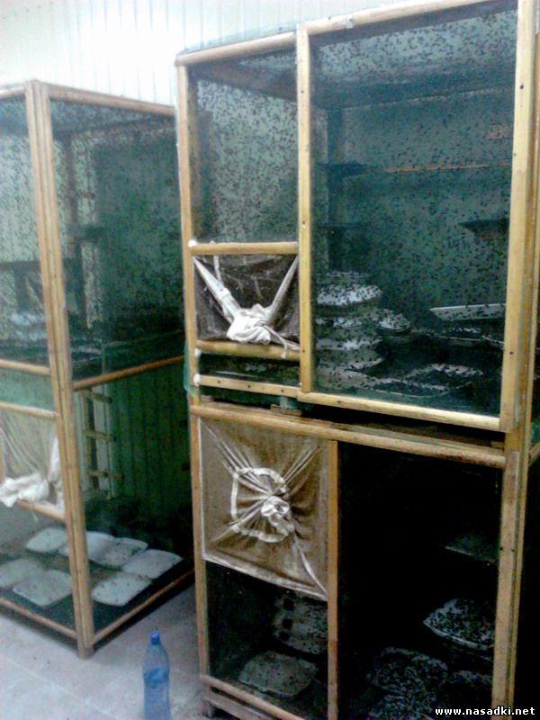 создание производственной популяции мух на производстве опарыша