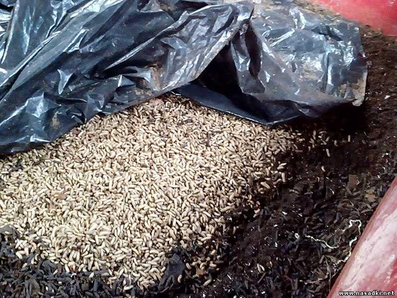 Личинки Hermetia Illucens черная львинка перерабатывают отходы