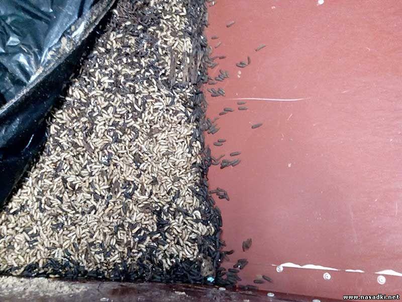 Взрослые личинки мухи черная львинка