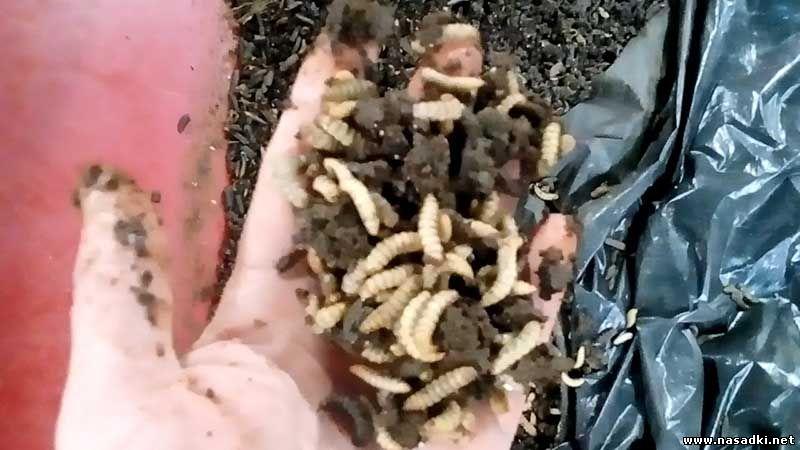 выращивание личинок мухи черный солдат