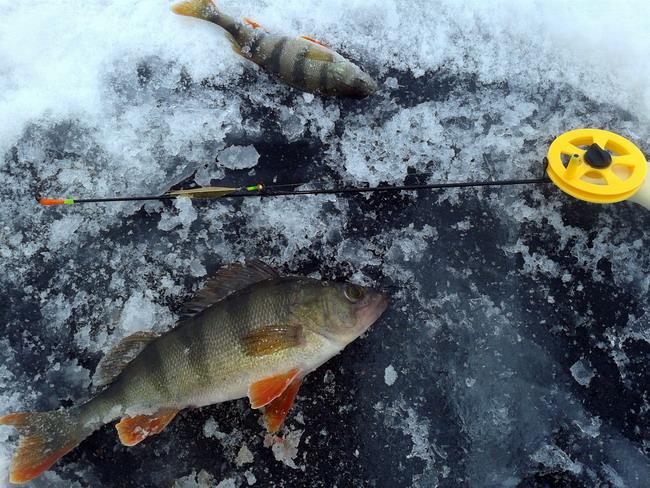 ловля окуня на зимнюю блесну