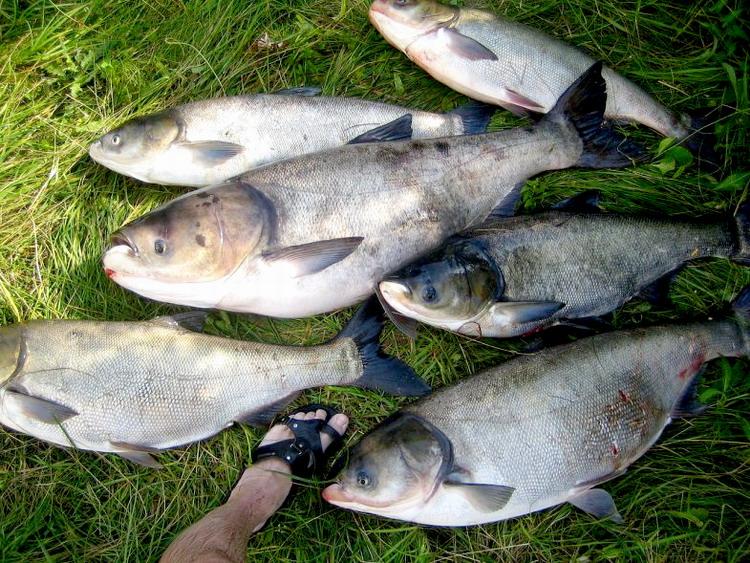 Толстолобики - улов