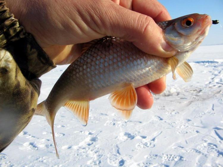 ловля плотвы на мормышку зимой
