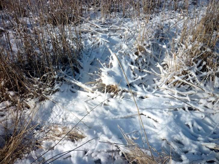тростник под снегом