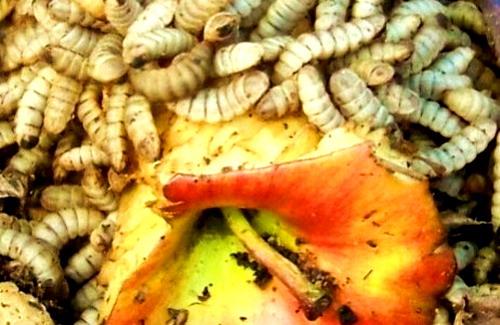 личинки черной львинки на яблоке