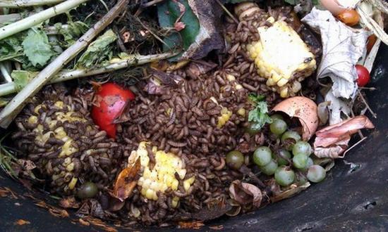 личинки черной львинки перерабатывают пищевые отходы