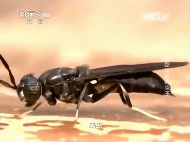 муха черный солдат