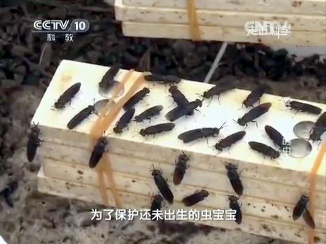 Самки мух черной львинки (Черный солдат) откладывают яйца