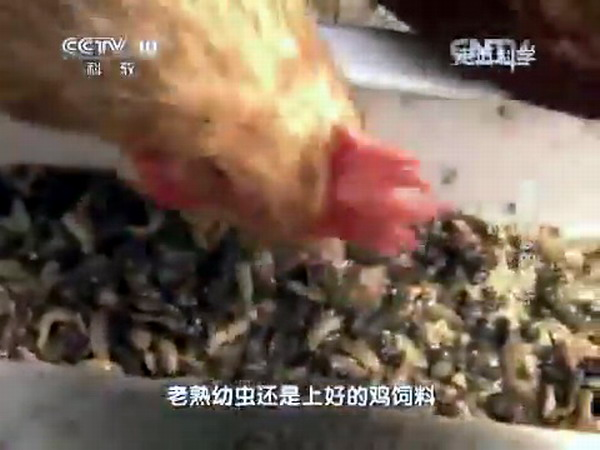 Опарыш - корм для кур