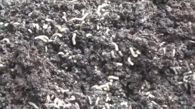 личинки мух едят навоз