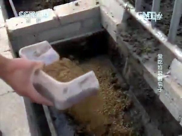 личинки черной львинки перерабатывают свиной навоз