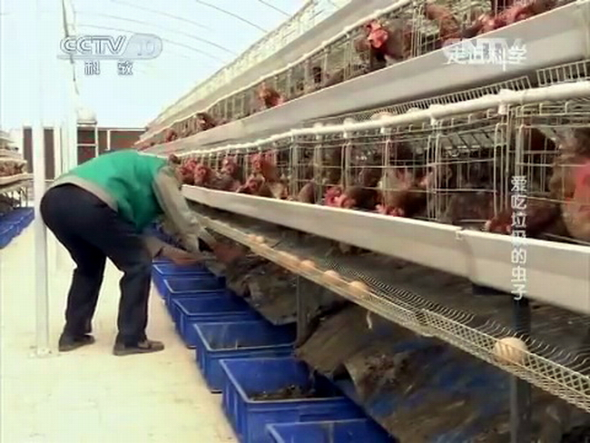 опарыши черной львинки перерабатывают куриный помет на птицефабрике