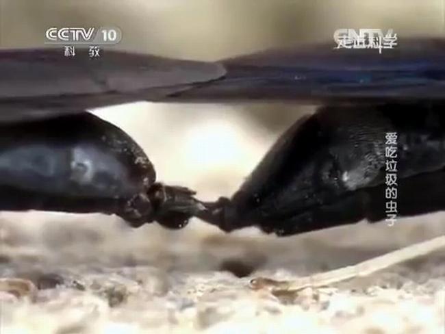 Спаривающиеся мухи черные львинки