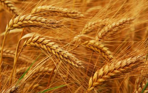 Пшеница на биогумусе